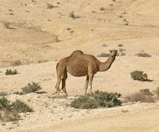 Free Camel Royalty Free Stock Photo - 17344325