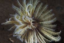 Free Feather Duster Worm Stock Photo - 17344570