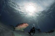Free Tiger Shark Stock Photography - 17344572