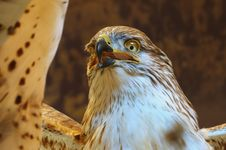 Free Hawk Royalty Free Stock Photos - 17344658