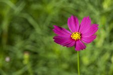 Free Cosmos Flowers Royalty Free Stock Photo - 17345185