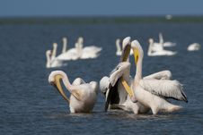 Free White Pelicans Flock Preening Stock Images - 17346014