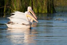 White Pelicans Pair Royalty Free Stock Images