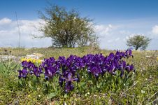 Free Dwarf Irises Royalty Free Stock Photography - 17346067