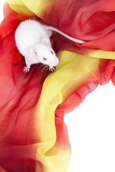 Free White Rodent Stock Photo - 17346070