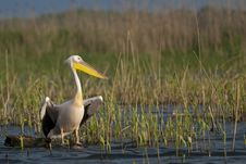 Free White Pelican Resting Stock Photography - 17346082