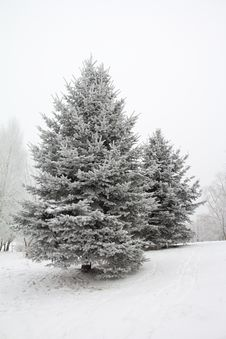 Free Fir Trees In Hoarfrost Royalty Free Stock Image - 17347356