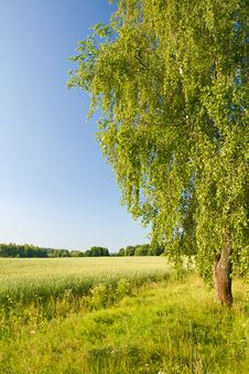 Free Lonely Birch In Field Royalty Free Stock Images - 17347599