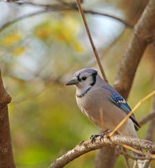 Blue Jay, Cyanocitta Cristata Stock Photos