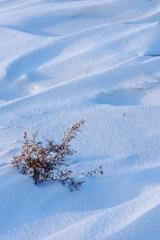 Weed On Snow Field Royalty Free Stock Photo