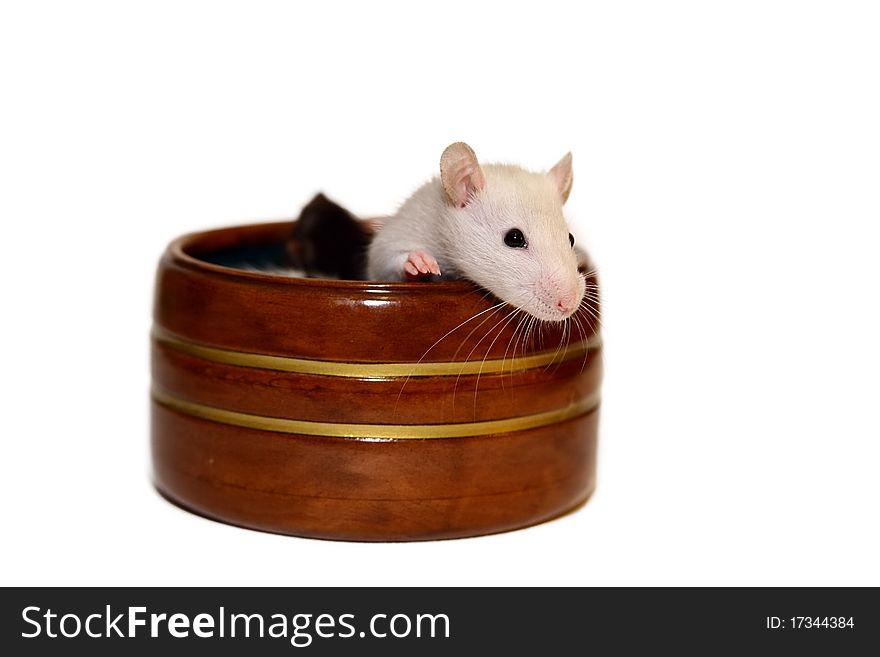Cute baby rat sitting in jewelery box