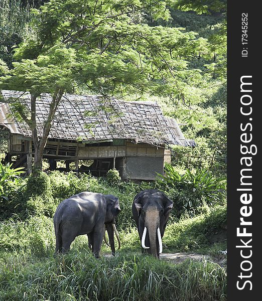 Elephants in nature