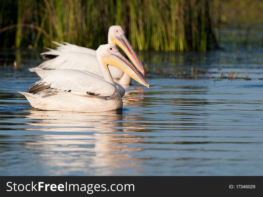 White Pelicans Pair