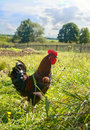 Free Proud Red Rooster In Green Grass Field. Royalty Free Stock Image - 17351306