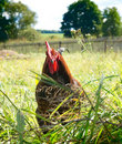 Free Proud Red Rooster In Green Grass Field. Stock Photo - 17351310