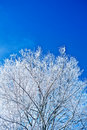 Free Image Of Crone Snowed Tree With Copyspace Stock Photography - 17353492