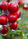 Free Holly Royalty Free Stock Image - 17357036