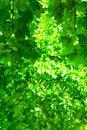 Free Green Foliage Royalty Free Stock Photos - 17358268