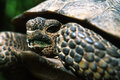 Free Endangered Desert Tortoise Royalty Free Stock Photos - 17358498