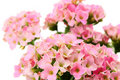 Free Flower Pink, Isolated. Stock Photo - 17359530