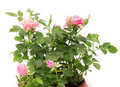 Free Pink Rose. Royalty Free Stock Photography - 17359537