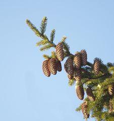 Fur-tree Branch With Cones Stock Photos