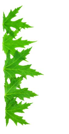 Free Frame From Isolated Green Leaves Of Mappletree Royalty Free Stock Images - 17351809