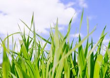 Green Grass Field Under Midday Sun In Blue Sky. Stock Image