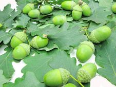Free Oak Tree Leaves And Nuts Stock Images - 17351914