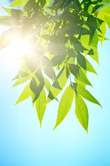 Free Green Leafe In Sunny Day. Royalty Free Stock Photo - 17351945