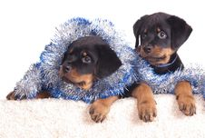 Free Rottweiler Puppy Royalty Free Stock Photo - 17352395