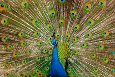 Free Peacock Royalty Free Stock Photo - 17353375