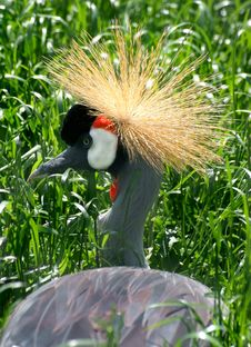 Free African Grey Crowned Crane Royalty Free Stock Photography - 17353397