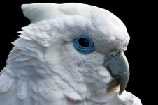 Free White Parrot Royalty Free Stock Photography - 17353437