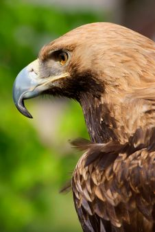 Free Proud Eagle Royalty Free Stock Photos - 17353468
