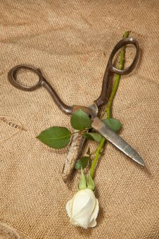 Scissors And Rose Royalty Free Stock Photography