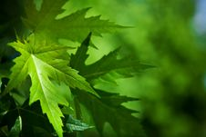 Free Leafage Of Mapple On A Blurry Background Stock Photography - 17354882