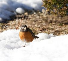 American Robin In A Drift Of Snow Stock Image