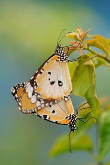 Free Tiger Butterflies Royalty Free Stock Photography - 17357697
