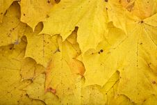 Free Background Of Dry Yellowfoliage Royalty Free Stock Photo - 17358085