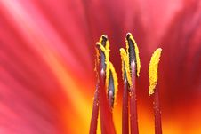 Free Red Hemerocallis Macro Stock Photography - 17358092
