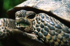 Free Endangered Desert Tortoise Royalty Free Stock Photos - 17358498