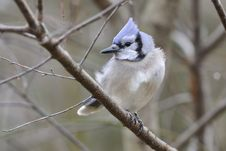 Blue Jay 7c Royalty Free Stock Images