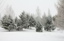 Free Fir Trees In Hoarfrost Stock Photography - 17359652