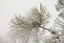 Pine Branch Covered With Hoarfrost Royalty Free Stock Photo