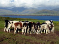 Free Cows At A Meadow Royalty Free Stock Images - 17368409