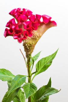 Free Celosia Argentea, Closeup Royalty Free Stock Photo - 17360655