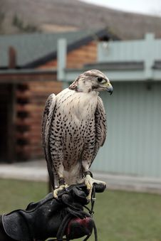 Falcon Perched On Gloved Hand Royalty Free Stock Photo