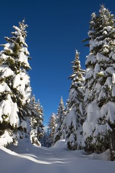 Free Pines Under Snow Stock Photo - 17365430