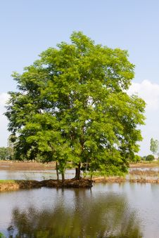 Free Tree Royalty Free Stock Photography - 17366427